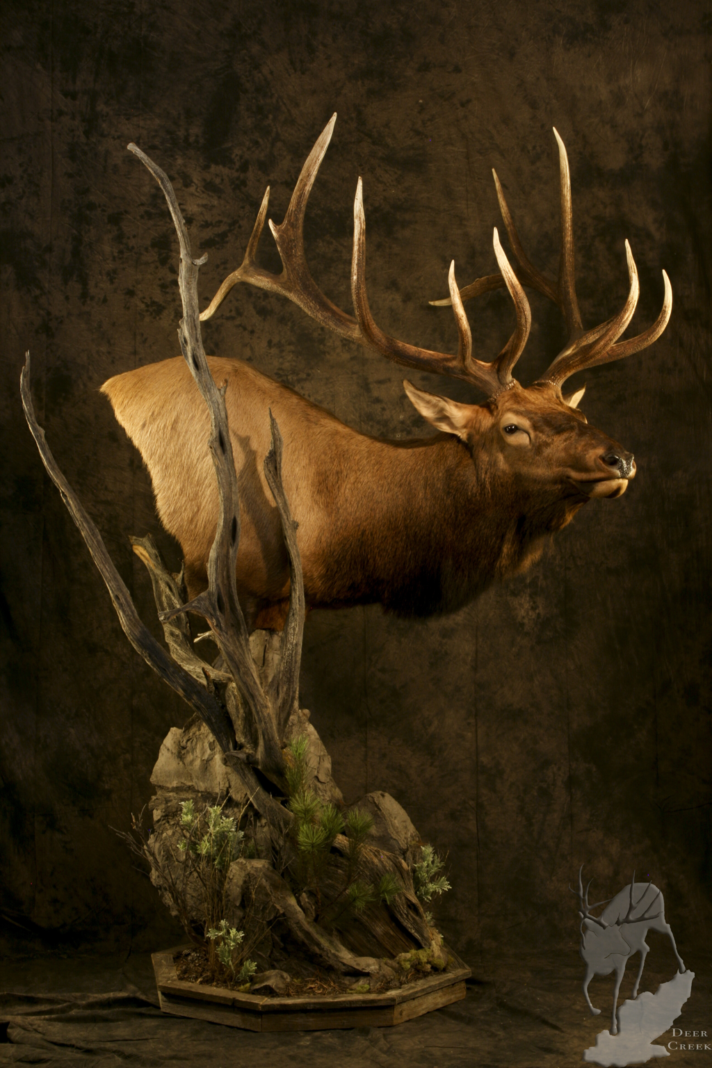 Wall Pedestal Mule Deer Mount Cat Tracks Wildlife Design